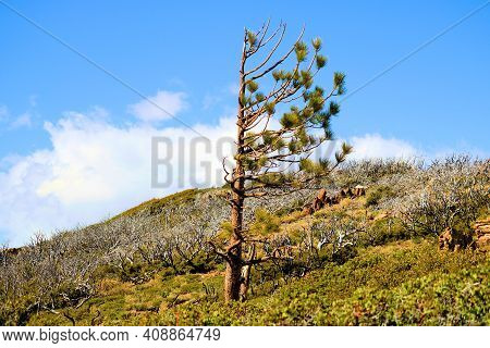Lone Pine Tree On A Windswept Mountain Ridge At An Alpine Meadow Taken In The Rural Southern Califor