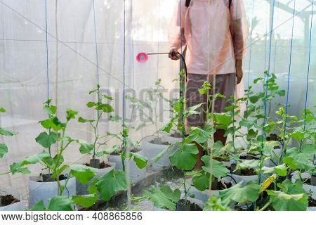 Farmer Spraying The Insecticide In Melon Farm For Protect It From Insecs