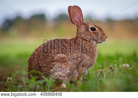 An Eastern Cottontail Rabbit (sylvilagus Floridanus) In The Grass. Raleigh, North Carolina.