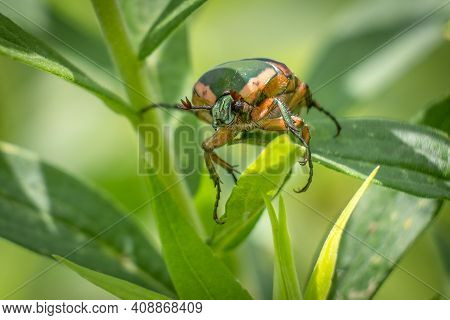 Front View Of A Green June Beetle (cotinis Nitida). Raleigh, North Carolina.