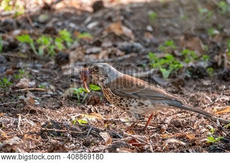 Fieldfare Collects Worms On A Spring Lawn. Fieldfare, Turdus Pilaris. Bird With Beak Full Of Worms.