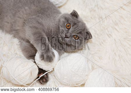 A Lop-eared Scottish Cat Plays With Balls Of Yarn. An Animal On A White Background. Fun For Pets