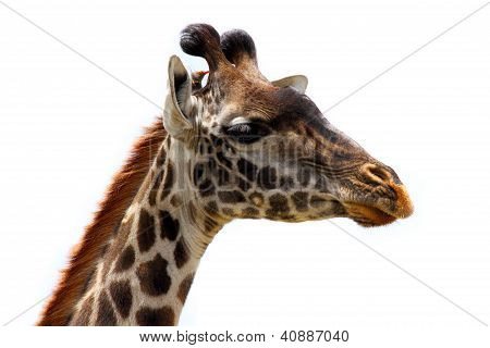 Giraffe Head And Bird Friend - Isolated