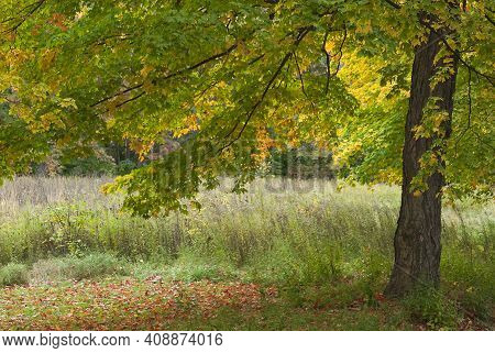 A Maple Tree Drops It's Leaves In A Pool Under The Tree In The Forest At Ryerson Conservation Area I