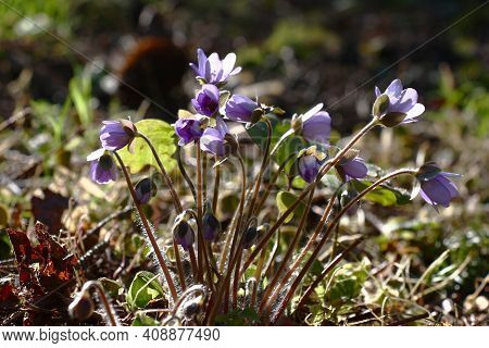 Solar Spring Morning. A Hepatica At The Beginning Of Blossoming. Violet Buds And Flowers On Motley B