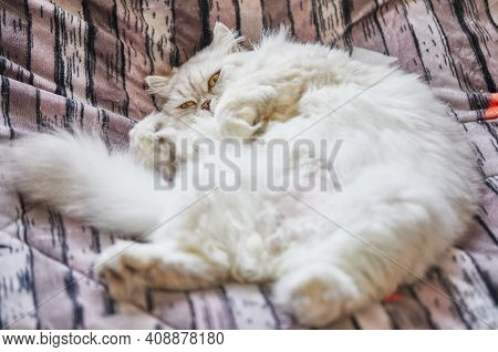 British Longhair Cat Lies In A Funny Pose On The Bed