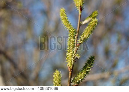 Green Pistillate Catkin Inflorescences Bloom On Arroyo Willow, Salix Lasiolepis, Salicaceae, Native