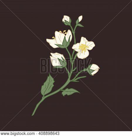 Flower, Jasmine, White, Mock Orange, Elegant, Background, Black, Blooming, Blossom, Botanical, Botan