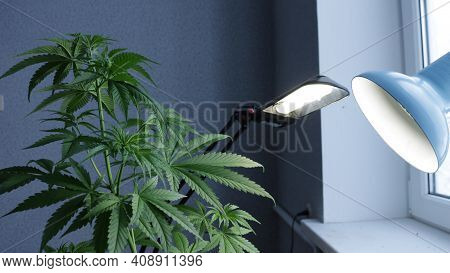 Cannabis Plant Ripening Under The Additional Lighting Of Two Lamps Near The Window In The Apartment,