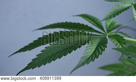 Carved Cannabis Leaf Blurred Around The Edges On A Gray Background Close-up, A Symbol Of Legalizatio