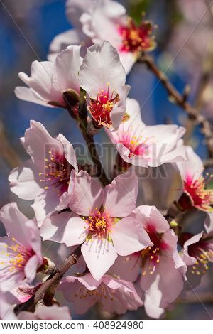 Almond Tree Bloom, Close Up Of Pink Spring Of Almond Tree Flowers