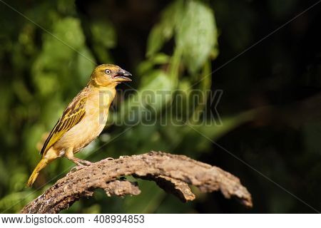 Holub's Golden Weaver (ploceus Xanthops), Also Called The African Golden Weaver Sitting On The Branc