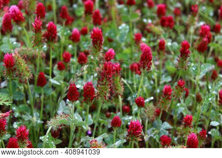 Wet Crimson Clover After The Rain In The Summer