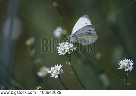 Delicate White Butterfly. A White Moth Pieris Manni Sits On Small Flowers. Butterfly On A White Colo