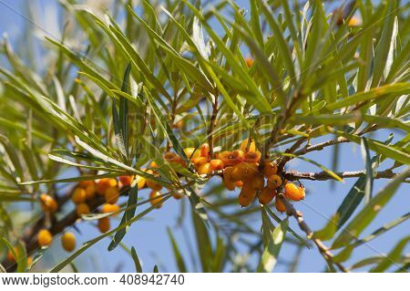 Branch With Sea Buckthorn Berries And Green Leaves Against The Sky. Orange Sea Buckthorn Berries On