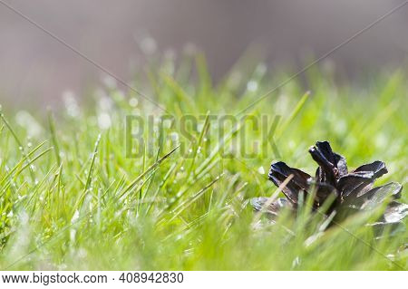 Fallen Pinecone On Green Lush Grass. Spring Nature. Pine Cone In Green Grass, Close-up. Spring Or Su