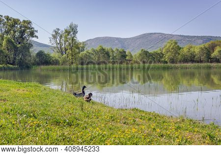 On The Shore Of A Mountain Lake, A Drake And A Duck Are Standing In Green Grass. The Cloudless Sky A