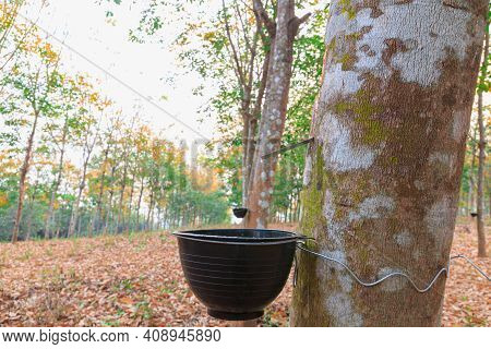 Close-up Of The Rubber Latex Drop From A Rubber Tree Dripping Into The Secondary Cup