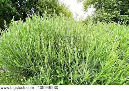 Rosemary Herb Garden. Spices For Cooking. Green Aromatic Herb Grow Outdoor. Ingredients For Ready Me