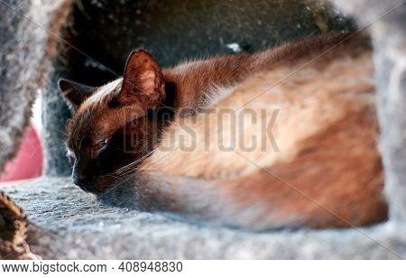 A Cute Siamese Cat Lying Inside A Cat Tree