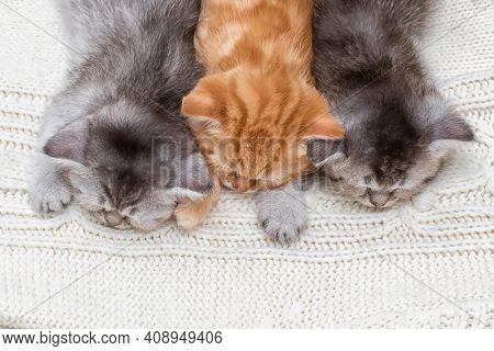 Three British kittens sleep together