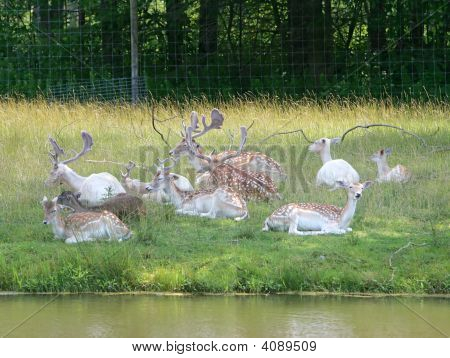 many young deer males and females in a field out of the sun near the water poster