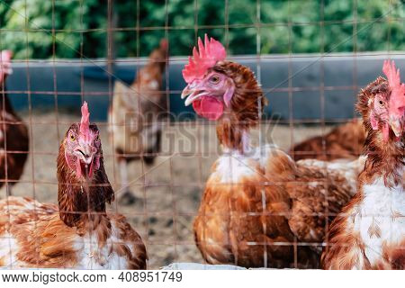 Image Of Chickens On Traditional Free Range Poultry Farm In Thailand
