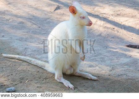 White Kangaroo. Albino Kangaroo. Very Rare Specie Of Kangaroo Called Albino/white Kangaroo.