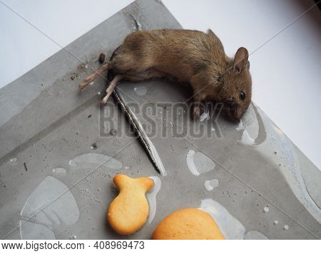 Dead Mouse On Glue. Mousetrap For Domestic Rodents. A Gray Mouse Or Rat Lies Bogged Down In A Sticky