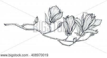 Hand Drawn Vector Magnolia Branch. Beautiful Romantic Elegant Floral Element.