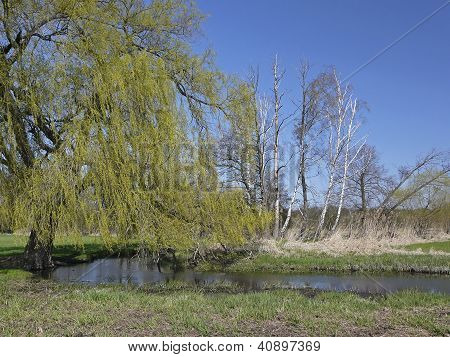 Dead Trees And Fresh Green In A Riparian Forest