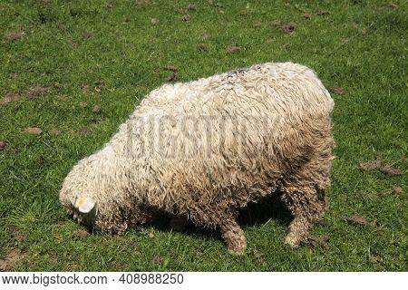 Saint Austell (england), Uk - August 19, 2015: Devon & Cornwall Longwool Sheep Farm In The Lost Gard