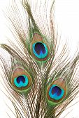 Colorful peacock feathers isolated on white background poster