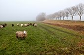 Dutch sheep on pasture covered with dense fog poster