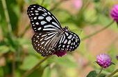 beautiful Pale Blue Tiger butterfly (Tirumala limniace) on flower near the road track poster