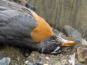 close up of dead robin at base of phone pole in early spring poster