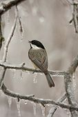 black capped chickadee perched on an icy branch poster