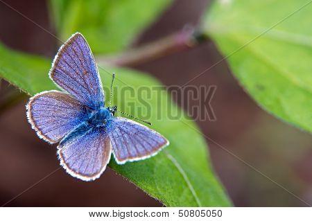 Mazarine Blue (Polyommatus Semiargus).mazarine Blue (Polyommatus Semiargus)