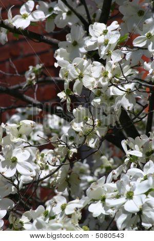 Closeup Of White Dogwood Blossoms