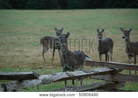 White-tailed Deer (Odocoileus virginianus )