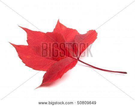 Red Autumn Virginia Creeper Leaf
