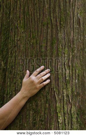Hand On Cedar Tree Trunk