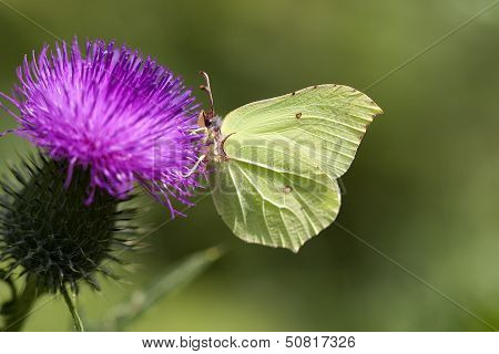 Brimstone - thistle