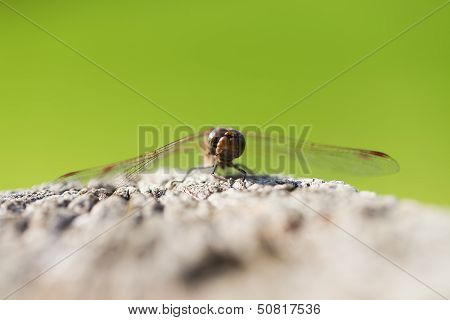 Common Darter - front view