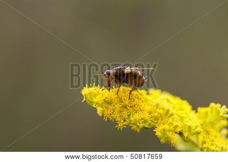 Hedgehog fly - Tachina fera