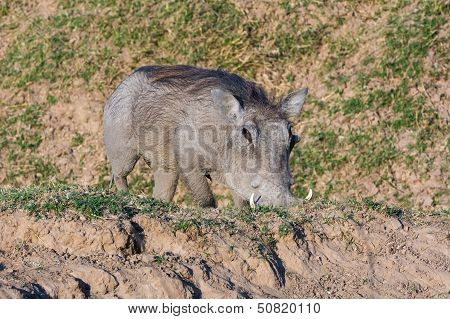 Warthog Feeding On Its Knees