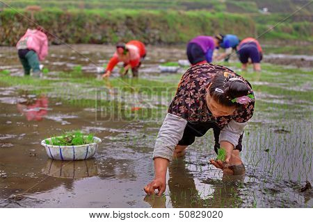 Chinese Woman The Ricefields, Holds In Her Hand Rice Seedlings.