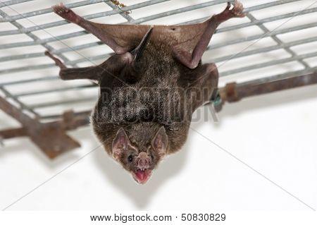 Common vampire bat (Desmodus rotundus) in a zoo poster