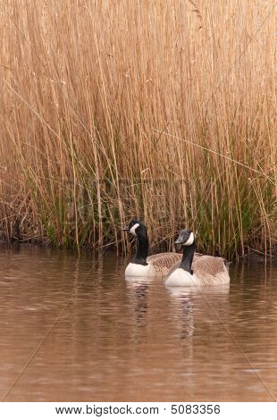 Canada Geese wintering on a wetland reserve in the UK. poster