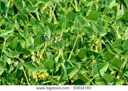 Soybean plants in garden